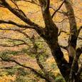 中津谷渓谷の紅葉10