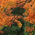 中津谷渓谷の紅葉2