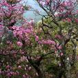 夏木山のアケボノツツジ