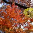 くじゅう うるしの紅葉