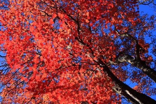 くじゅう 真っ赤な楓