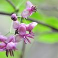 竜王山 ミツバアケビの花