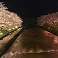 美祢の夜桜