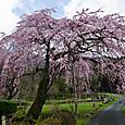 神角のしだれ桜