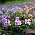 竜王山のニオイタチツボスミレ 紫のジュウタン