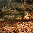 鳴子川に落ち葉が彩り