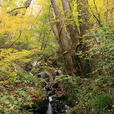 桂の木と水流