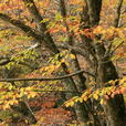 ケヤキの若木も紅葉