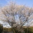 17 叶松の山桜の大木