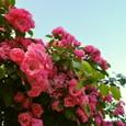 20 桑原さん宅の薔薇