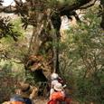 巨木と登山者