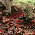 竜王山 椿の落花